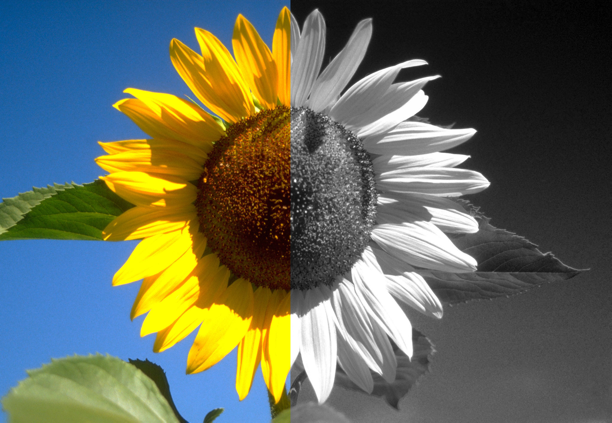 Sunflower in color and B&W